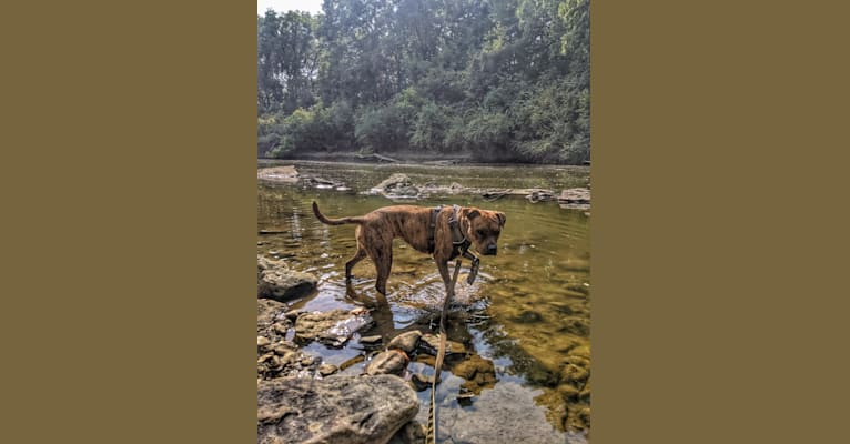 Photo of Winona, an American Pit Bull Terrier, Rottweiler, Bulldog, American Staffordshire Terrier, and Boxer mix in Columbus, Ohio, USA