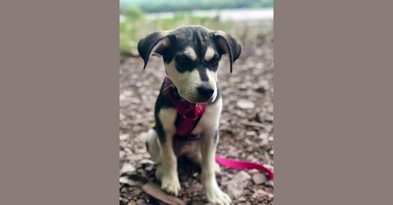Photo of Yuki, a Siberian Husky, Beagle, and Australian Cattle Dog mix