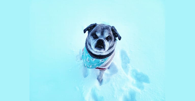Photo of Pugsley, a Pug, Shih Tzu, Pekingese, and Russell-type Terrier mix in Elmvale, Ontario, Canada