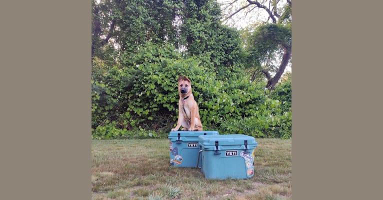 Photo of Everhett, a German Shepherd Dog, Australian Cattle Dog, American Pit Bull Terrier, and Labrador Retriever mix in El Paso, Texas, USA