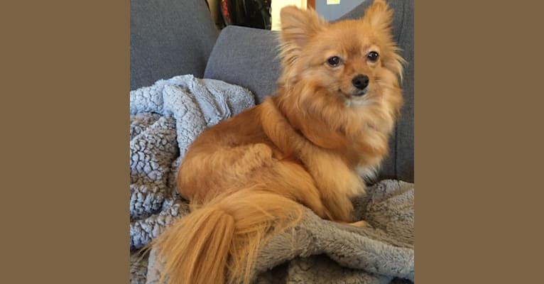 Photo of Brigitte, a Pomchi  in California, USA