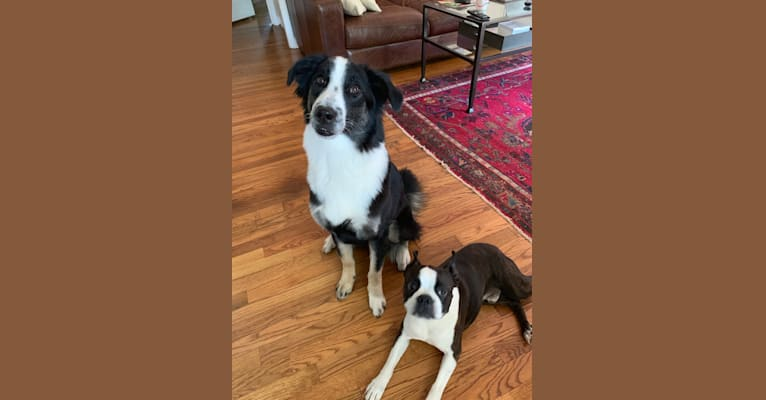 Photo of Harper, a Border Collie, Australian Cattle Dog, Chow Chow, Akita, German Shepherd Dog, Labrador Retriever, and Mixed mix in Fort Worth, Texas, USA