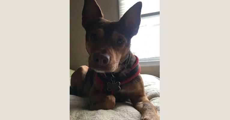 Photo of Kai, an Australian Cattle Dog, Pekingese, Chihuahua, and American Pit Bull Terrier mix in Sacramento, California, USA