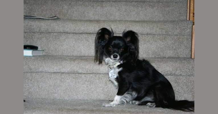 Photo of Kitty, a Chihuahua  in Corson, South Dakota, USA