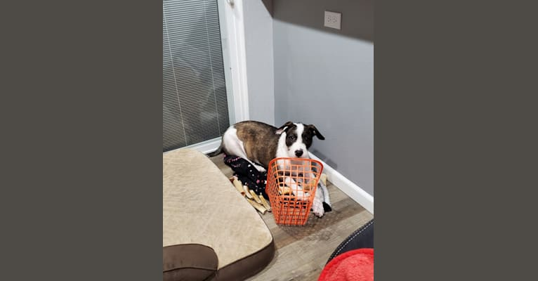 Photo of Bucky, an American Pit Bull Terrier, Australian Cattle Dog, American Staffordshire Terrier, and Mixed mix in Littleton, Colorado, USA