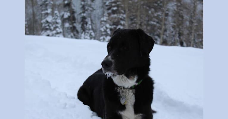 Photo of Nova, an Anatolian Shepherd Dog and Maremma Sheepdog mix in Denver, Colorado, USA