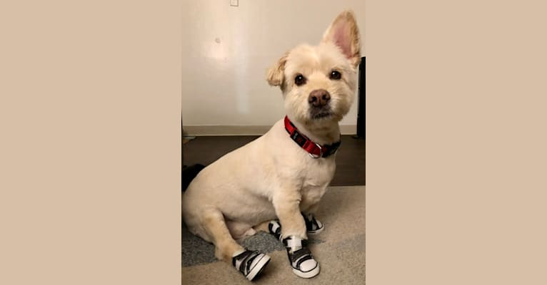 Photo of Conan, a Rat Terrier, Lhasa Apso, German Shepherd Dog, Poodle (Small), and Mixed mix in San Diego, California, USA