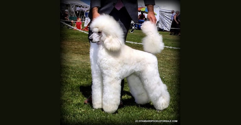 Photo of Angie, a Poodle (Standard)  in Serbia