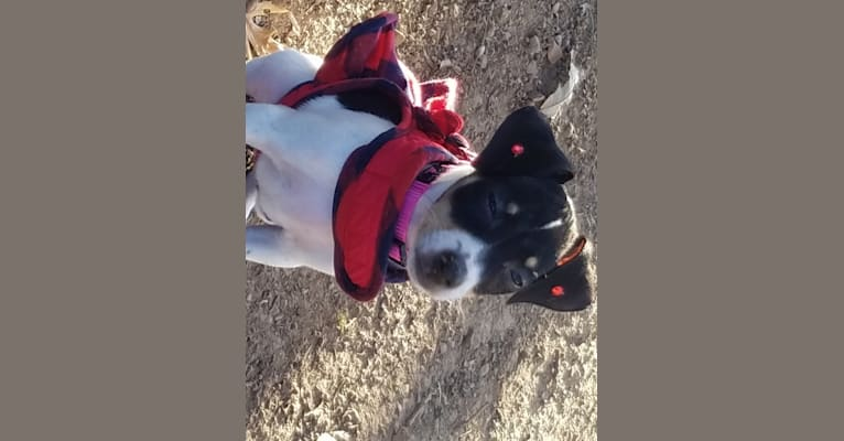 Photo of Jackie, a Rat Terrier, Russell-type Terrier, and Mixed mix in Carthage, Missouri, USA