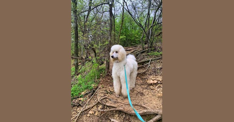 Photo of Bella, a Poodle (Standard)  in Fort Worth, Texas, USA