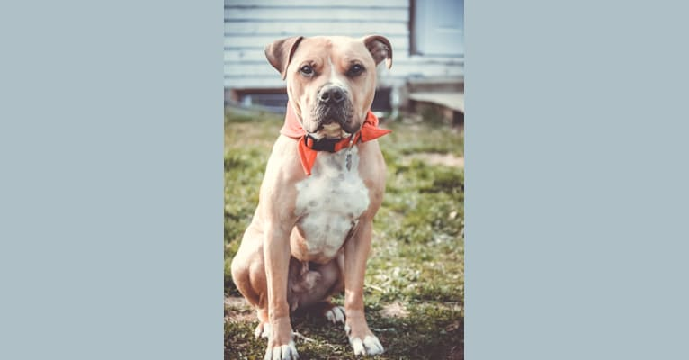 Photo of Simon, an American Pit Bull Terrier  in East Freetown, Freetown, MA, USA