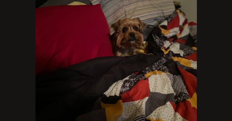 Photo of Charlie, a Yorkshire Terrier  in Pennsylvania, USA