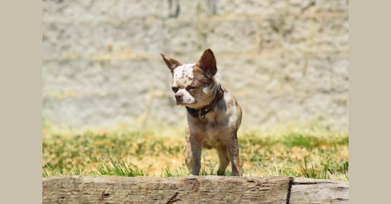 Photo of Sebastian, a Chihuahua  in Michigan, USA