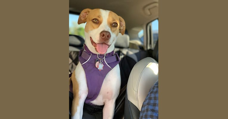 Photo of Nina, an American Pit Bull Terrier, Treeing Walker Coonhound, and Mixed mix in Mississippi, USA