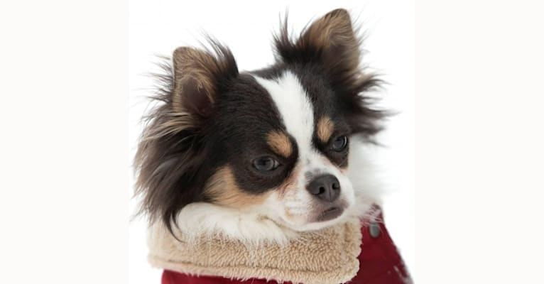 Photo of Gizzy, a Chihuahua  in Oklahoma, USA