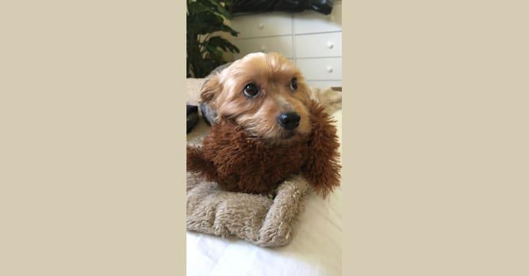 Photo of Teddy, a Yorkshire Terrier  in Long Beach, California, USA
