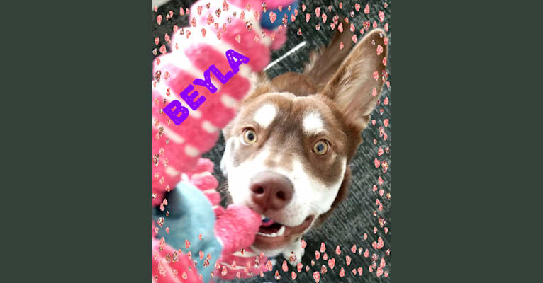 Photo of Beyla, a Chow Chow, Siberian Husky, Labrador Retriever, and American Staffordshire Terrier mix in Texas, USA