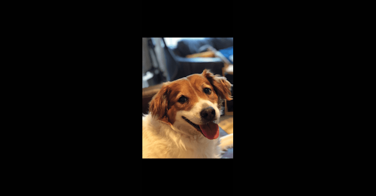 Photo of Tater, a Chow Chow, Labrador Retriever, Chihuahua, Treeing Walker Coonhound, and Australian Cattle Dog mix in Natick, Massachusetts, USA