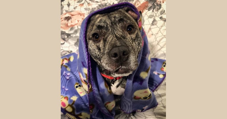 Photo of Hank, an American Bully  in Massachusetts, USA