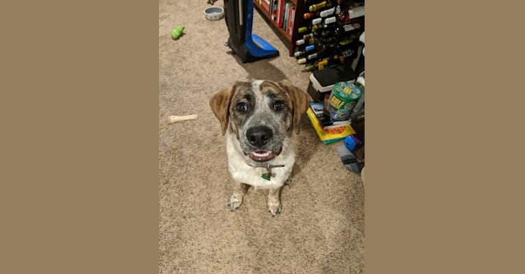 Photo of Monty, an Australian Cattle Dog, Labrador Retriever, and Mixed mix in Amery, Wisconsin, USA