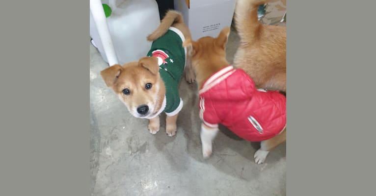 Photo of Sowon, a Japanese and Korean Village Dog  in Jeju-si, Jeju-do, South Korea