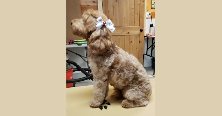 Photo of BELLA, a Poodle (Small), English Cocker Spaniel, and English Cocker Spaniel (Working Type) mix in Cañon City, Colorado, USA