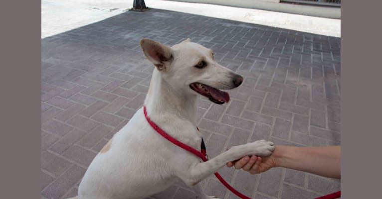 Photo of Coconut, a West Asian Village Dog  in Dubai, Dubai, United Arab Emirates