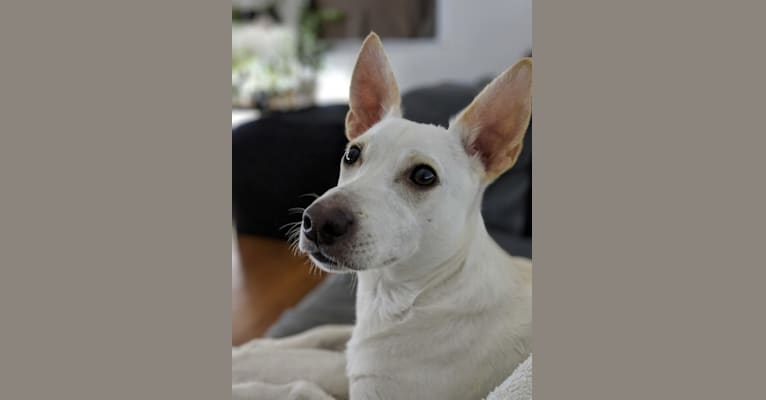 Photo of Dewey, a Poodle (Small), American Pit Bull Terrier, Chihuahua, and Mixed mix in Texas, USA