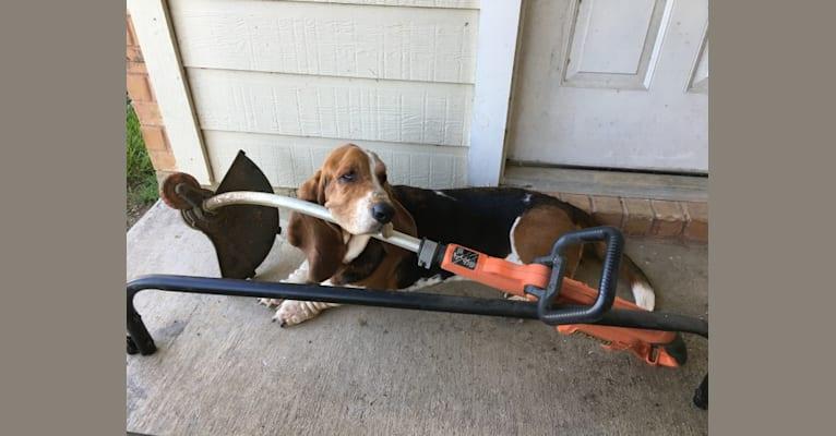 Photo of Butler, a Basset Hound  in Camden, TN, USA
