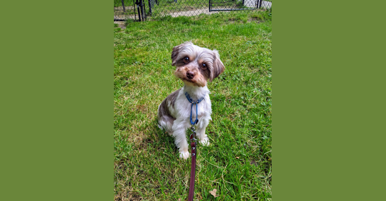 Photo of Frodo, a Biewer Terrier and Yorkshire Terrier mix in Oklahoma, USA