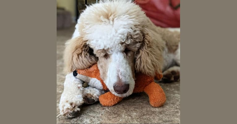 Photo of Remy, a Poodle (Standard)  in Nashville, TN, USA
