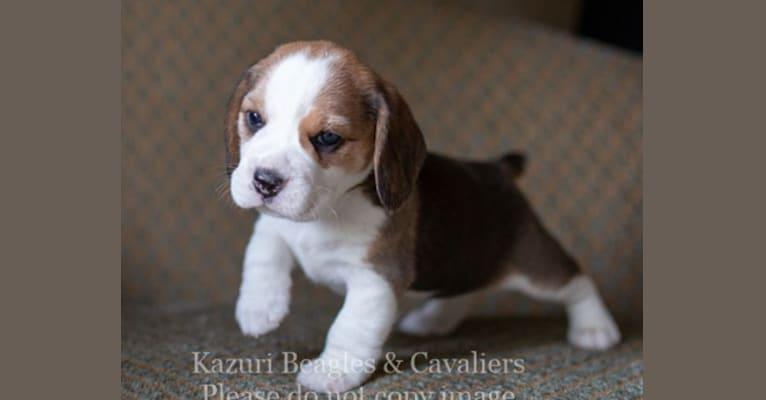 Photo of Echo, a Beagle