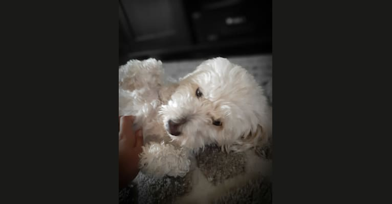 Photo of Leche, a Poodle (Small), Chihuahua, and Mixed mix in Collierville, Tennessee, USA