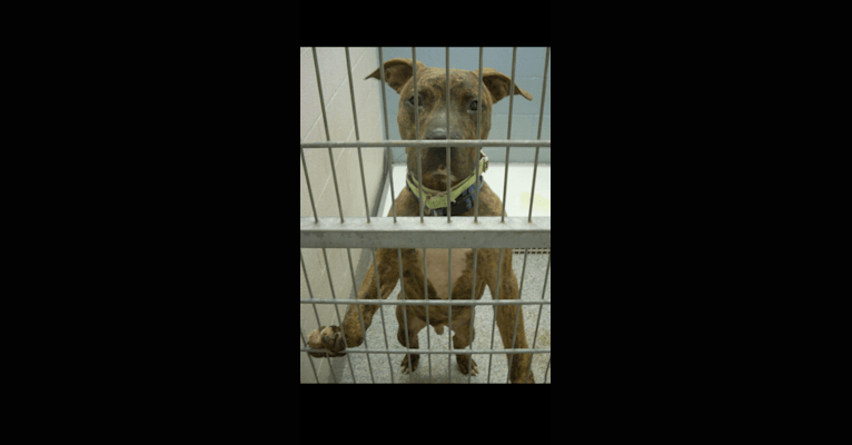 Photo of Bentley, an American Pit Bull Terrier and American Staffordshire Terrier mix in Akron, Ohio, USA