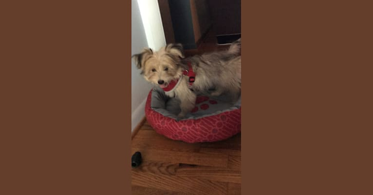 Photo of Louis Jay, a Pomeranian, Yorkshire Terrier, and Miniature Schnauzer mix in Grand Blanc, Michigan, USA