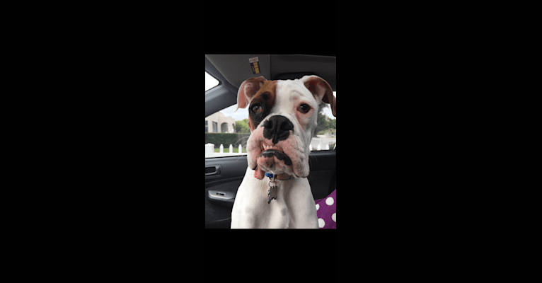 Photo of Charlie, a Boxer