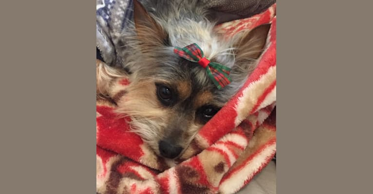 Photo of Zippy, a Chihuahua and Silky Terrier mix in Burrillville, Rhode Island, USA