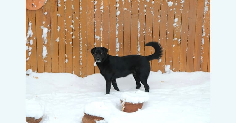 Photo of Riley, a Weimaraner, Labrador Retriever, Australian Cattle Dog, and Chow Chow mix in Denver, Colorado, USA