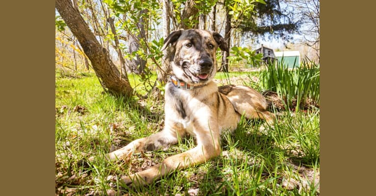 Photo of Loki, a Belgian Malinois, Australian Shepherd, Weimaraner, and Mixed mix in West Olive, Michigan, USA