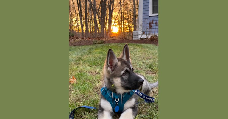 Photo of Thor, a   in Chester, VT, USA