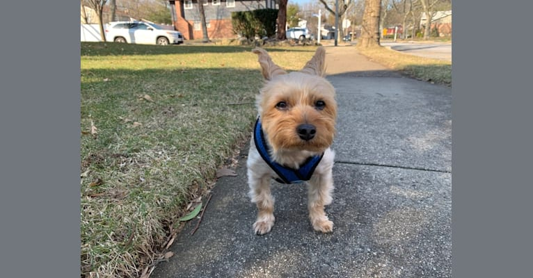 Photo of Cookie, a Yorkshire Terrier and Silky Terrier mix in Port Washington, New York, USA