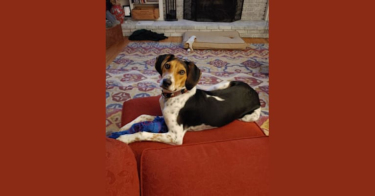 Photo of Buxton, an American Foxhound, Beagle, Black and Tan Coonhound, and Mixed mix in Virginia, USA