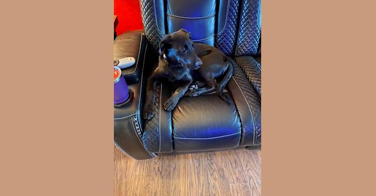 Photo of Raider, a Labrador Retriever, Bulldog, and Border Collie mix in Miller, Missouri, USA