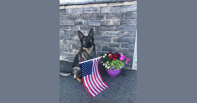 Photo of Basha, a German Shepherd Dog  in St. Louis, MO, USA