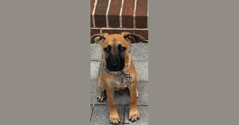 Photo of Beau, an American Pit Bull Terrier, Labrador Retriever, Chow Chow, and Mixed mix in Darlington, SC, USA