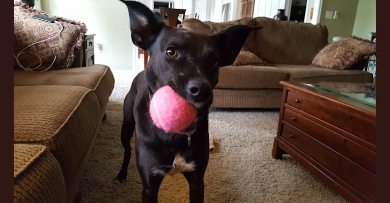 Photo of Josie, a Boxer, Australian Cattle Dog, Border Collie, Golden Retriever, and Mixed mix