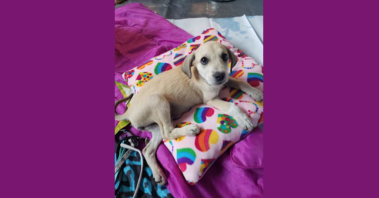 Photo of Rosie, an American Pit Bull Terrier, Great Pyrenees, Boxer, and Mixed mix in Texas, USA