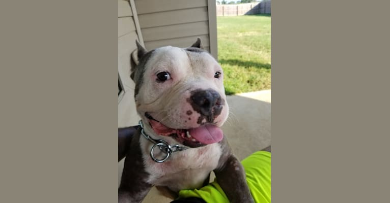 Photo of Kimbo, an American Bully  in Elkridge, Maryland, USA