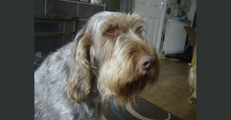 Photo of INISHSTORM VINCENZO, a Spinone Italiano