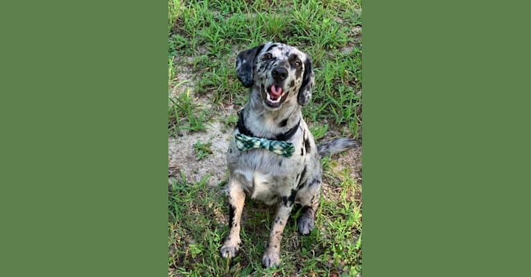 Photo of Roscoe, a Beagle, Labrador Retriever, Golden Retriever, and American Pit Bull Terrier mix in Cape Girardeau, Missouri, USA